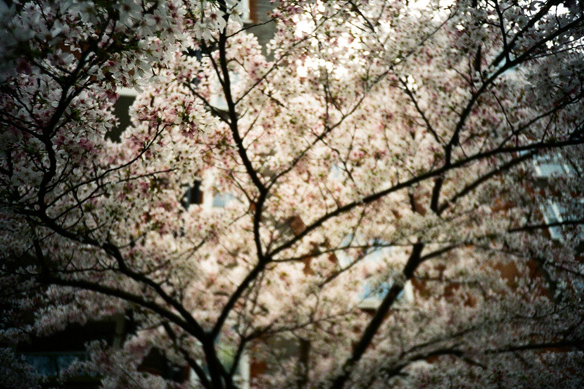 Cherry blossom, London