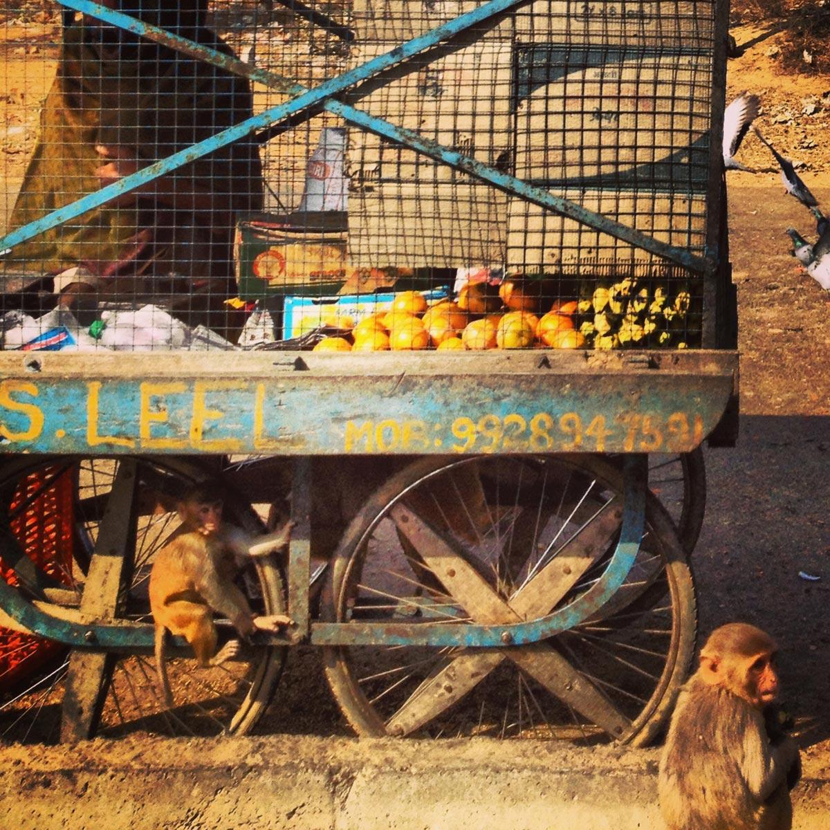 Monkeys, Rajasthan, India